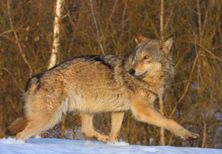 Lobo na zona de exclusão.
