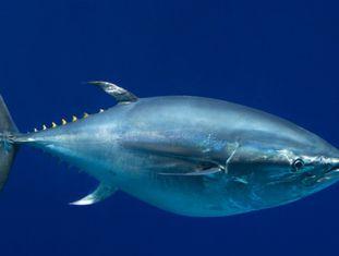 Um atum de barbatana azul do Pacífico em aquário dos EUA.