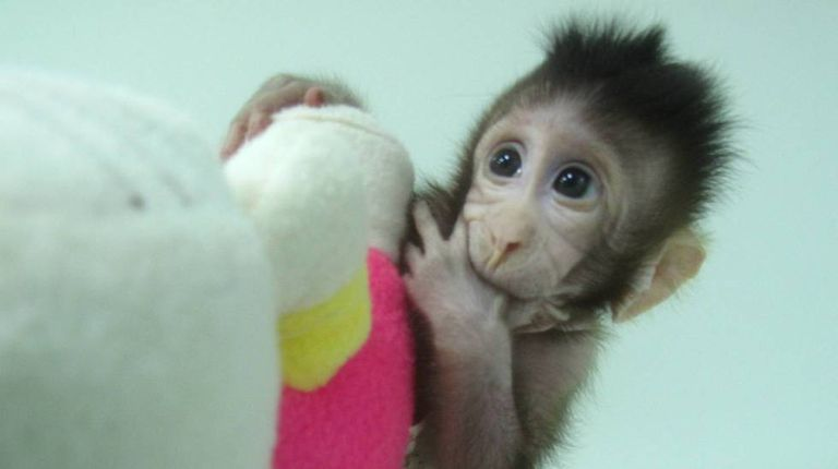 Zhong Zhong, um dos clones de macaco criados por cientistas chineses.