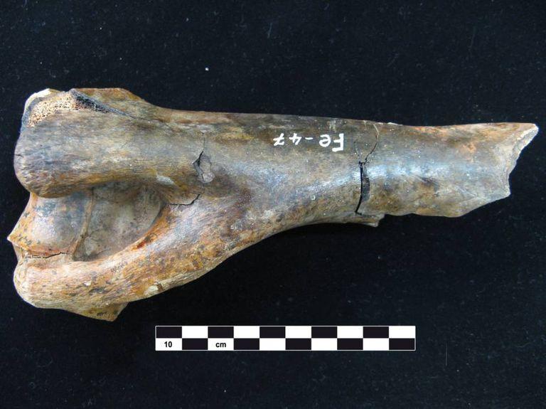 Úmero de um 'Hippidion saldiasi', espécie de equino encontrada na caverna de Fell, no sul do Chile.