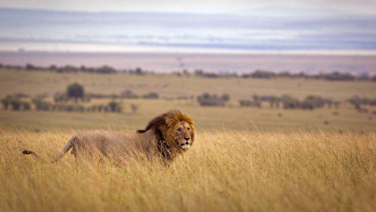 Leão na reserva natural Masai Mara.
