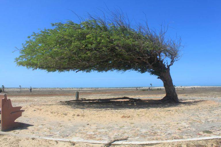 Árvore do Cabelo Penteado, no litoral do Piauí, parte da Rota das Emoções.