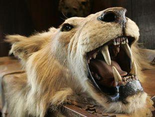 A cabeça e a pele de um leão caçado em um safári na África em 2008.