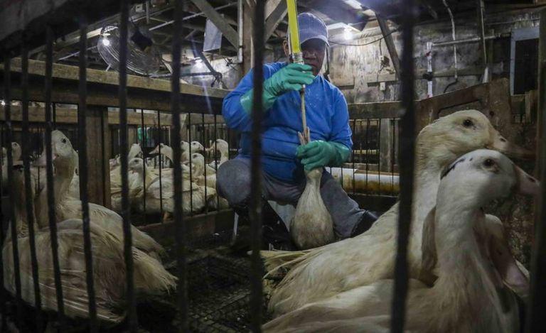 Um granjeiro alimenta um ganso à força em Ferndale (Nova York).