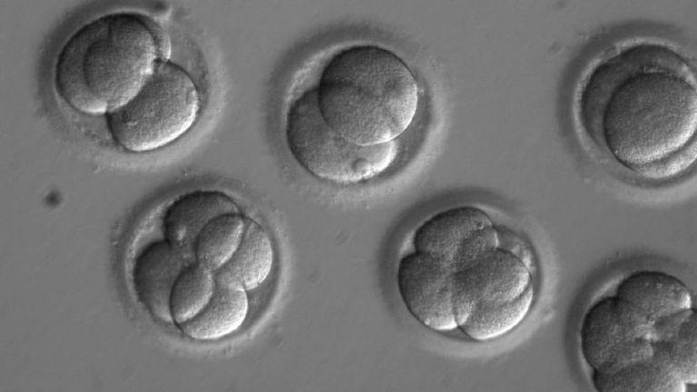 Embriões humanos manipulados
