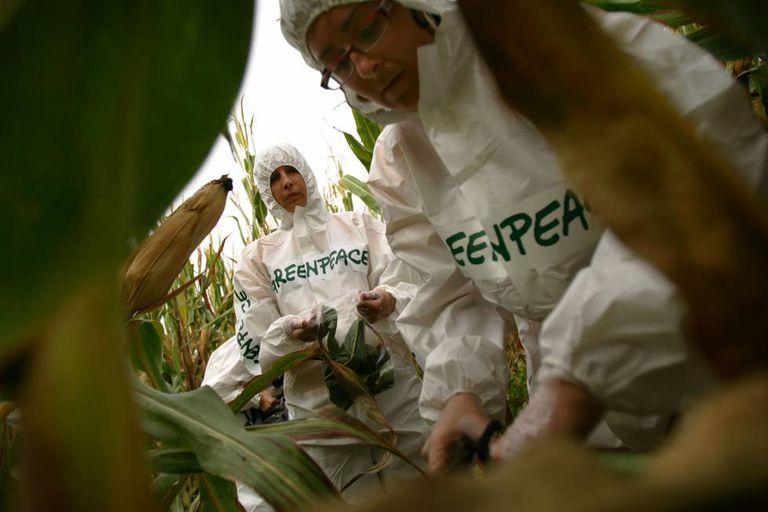 Ativistas do Greenpeace numa ação contra uma lavoura de milho transgênico.