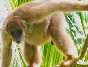 O muriqui (Brachyteles aracnoides) brasileiro corre risco de desaparecer.