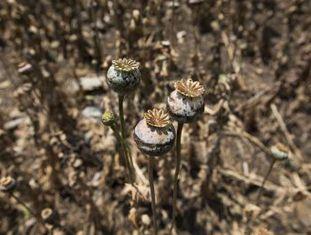 Camponeses pobres plantam papoula nas montanhas do Estado de Guerrero, o maior produtor da América, sob o jugo do narcotráfico e da perseguição do Exército