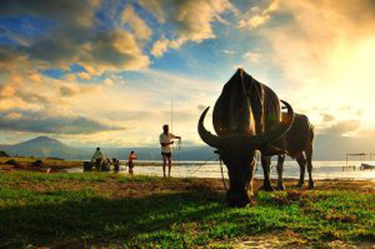 Búfalos nas orlas do Lago Toba, em Sumatra (Indonésia).
