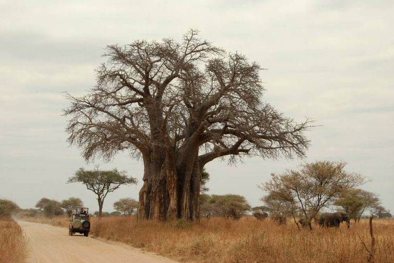 Um baobá no parque nacional de Tarangire.