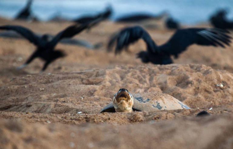 Os urubus disputam os ovos que, por descuido, rolarem para fora dos ninhos