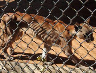 Um puma desnutrido em sua jaula do zoológico de San Francisco