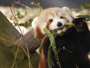 A panda vermelha 'Sunny', antes de sua fuga, no zoológico de Virgínia.