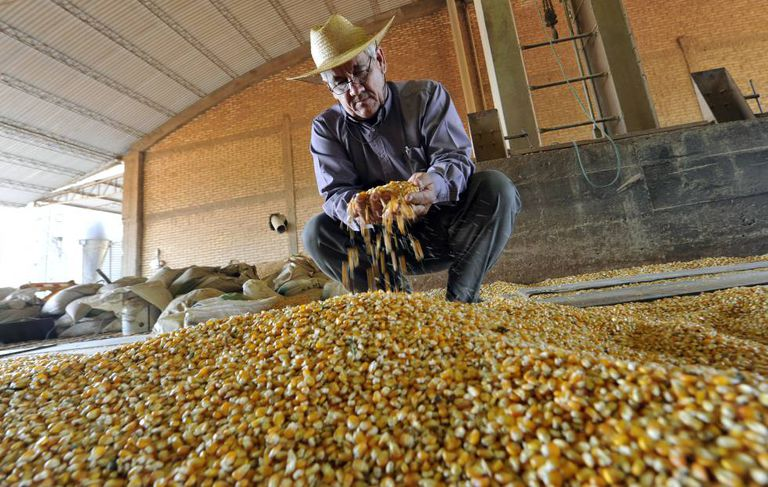Um agricultor examina milho transgênico no Paraguai.