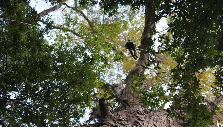 Um pesquisador, na copa da maior árvore da Amazônia.