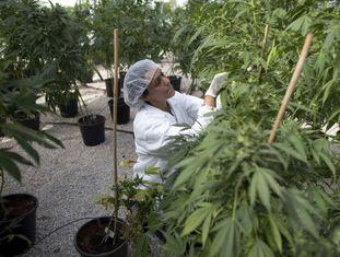 Mulher trabalha em plantação de maconha para fins medicinais.