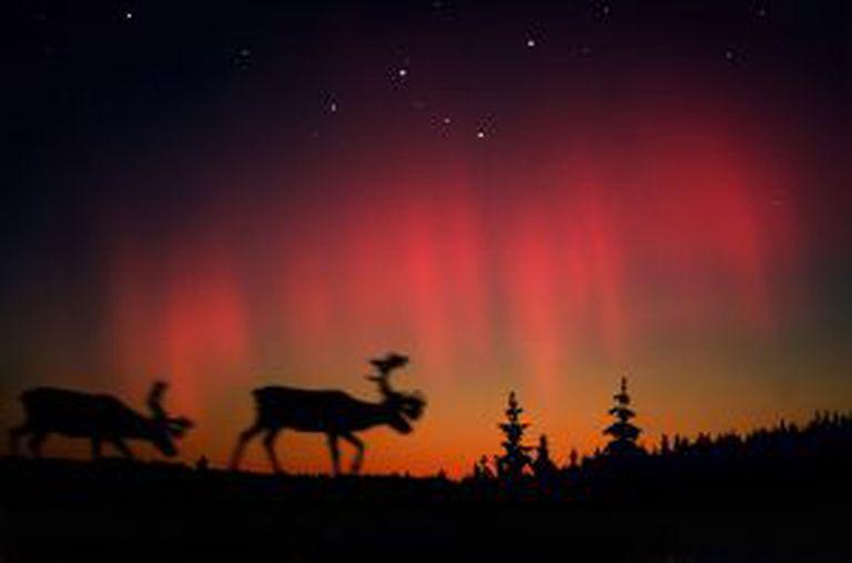 Auroras boreales e alce na Laponia norueguesa.
