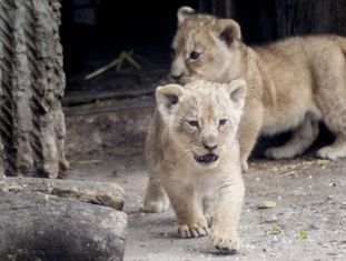 Dois filhotes de leão num zoo de Copenhague em 2013.