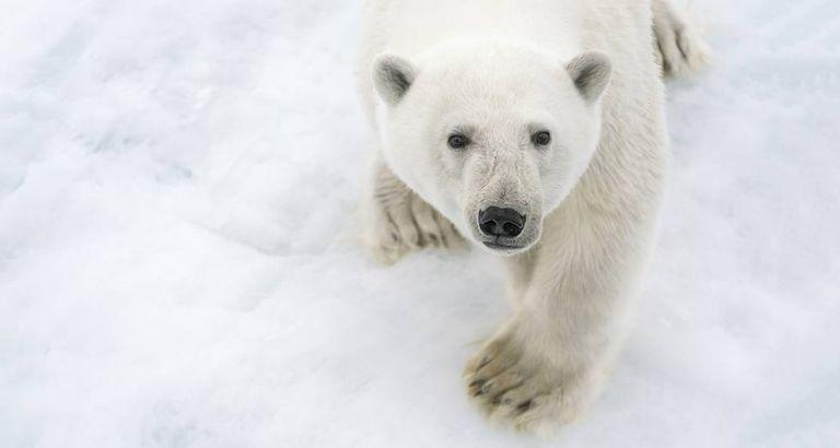 Um urso polar no Ártico.