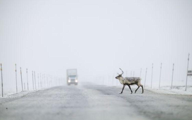 Um caribu cruza a Dalton Highway, também chamada de Haul Road, no Alasca.