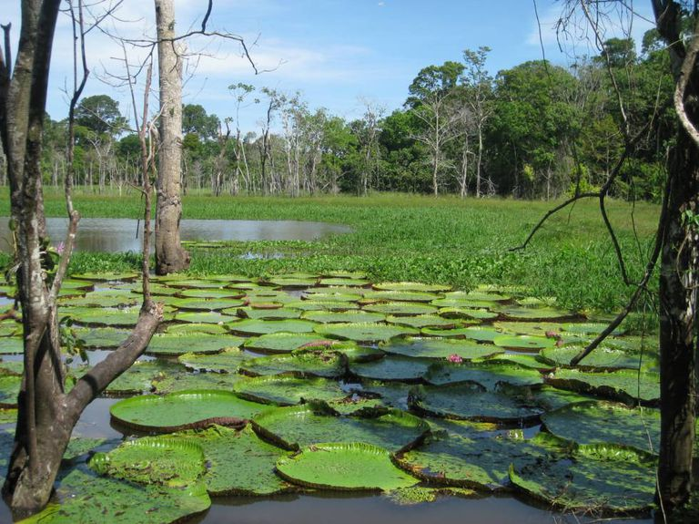 Os rios de várzea onde cresce a Vitória-régia dependem das inundações sazonais do Amazonas.
