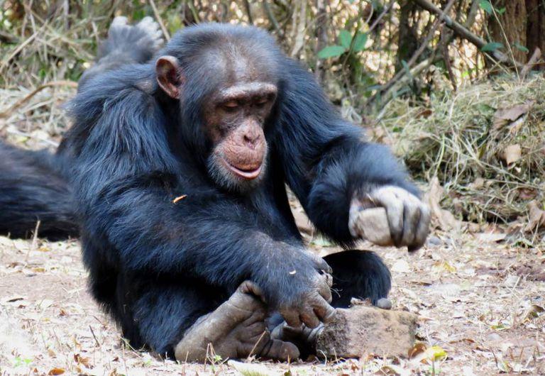 Um chimpanzé usa pedras para quebrar a casca de frutos secos.