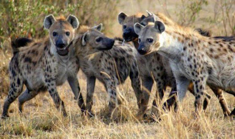 As hienas são um dos mamíferos estudados na pesquisa.