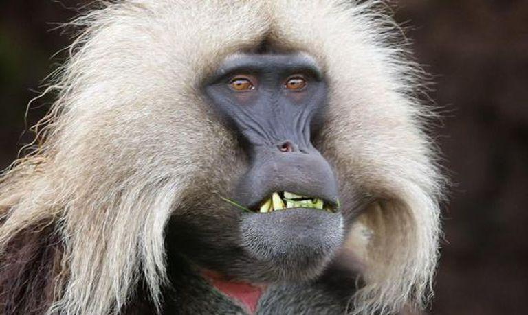 Um exemplar de 'Theropithecus gelada', um primata que vive nas pradarias de altas montanhas no centro e no norte da Etiópia.