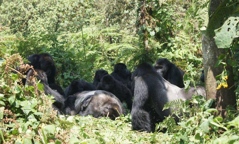 Um grupo de gorilas observa o cadáver de um lombo prateado.