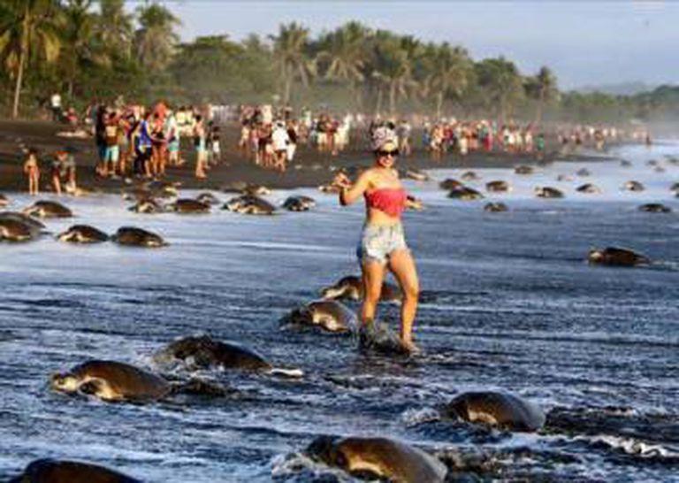 Turistas caminhando entre tartarugas em Costa Rica.