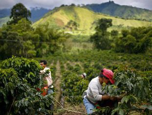 Plantação de café em Gigante, na Colômbia.