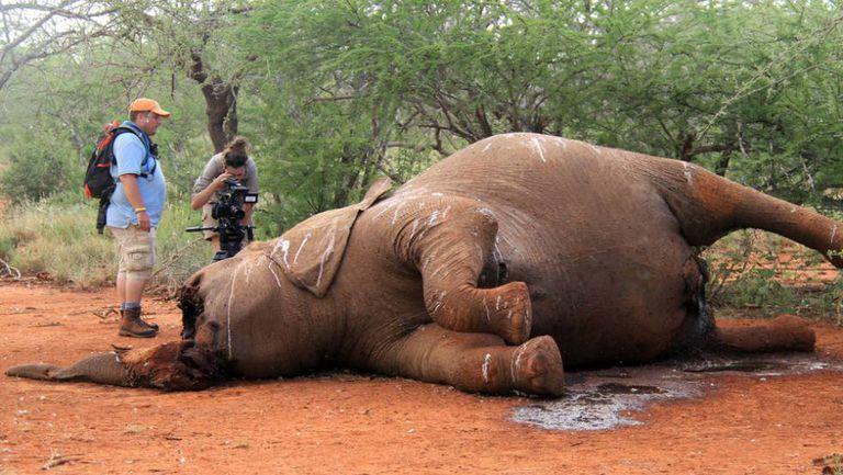 Um elefante mutilado para obter seus caninos, em Botsuana.