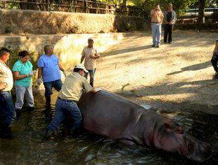 Funcionários do zoológico atendendo o hipopótamo Gustavito.