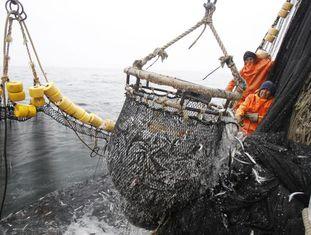 Pescadores puxam uma rede cheia de anchovas, em 2012.