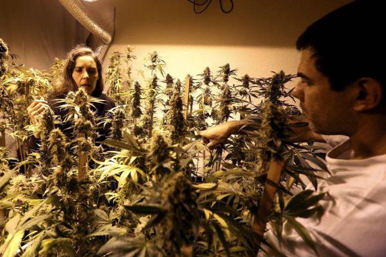 Duas pessoas supervisionam plantas de maconha em Montevidéu.