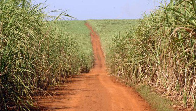 Plantação de cana-de-açúcar para produzir etanol.