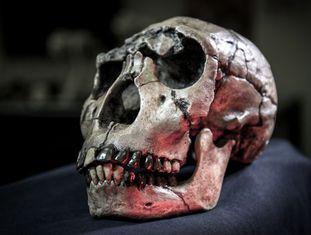 """A caveira de um """"Homo ergaster"""" do Quênia, incluída no estudo."""