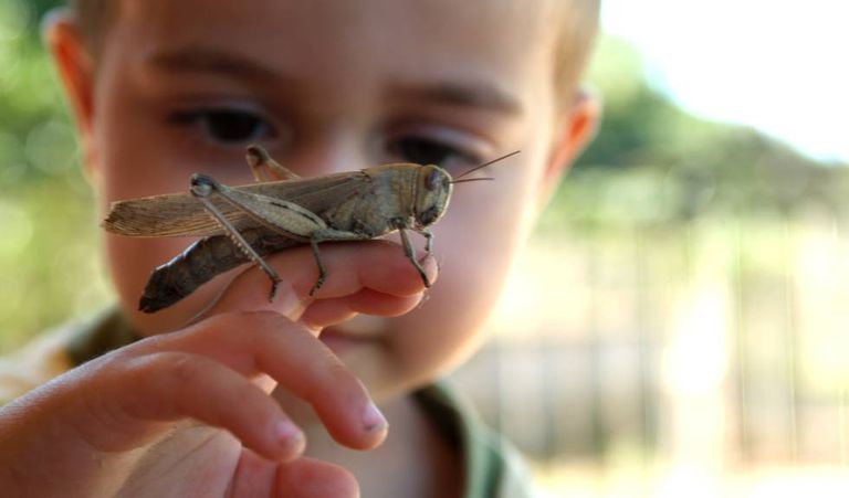 Quase um terço das espécies de ortópteros (como gafanhotos, grilos ou cigarras) está ameaçado, algumas em perigo de extinção.