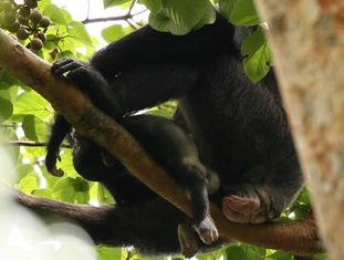 A chimpanzé 'Lucy' segura um filhote morto.