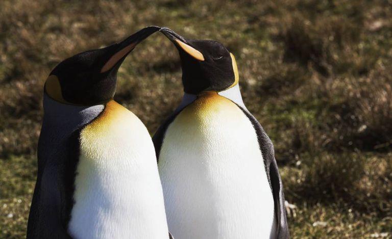 Dois exemplares da espécie pinguim-rei