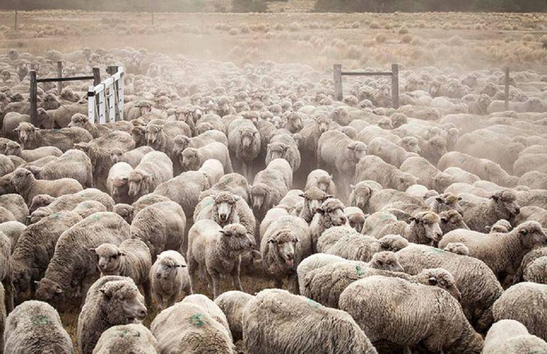 Ovelhas na fazenda Leleque, que Benetton usa para sua famosa lã.