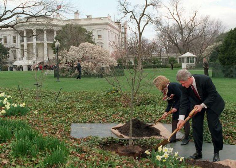 O presidente Clinton e sua mulher, Hillary, plantam uma árvore nos jardins da Casa Branca, em 1996.