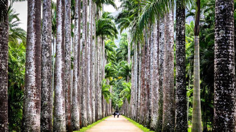 Palmeiras do Jardim Botânico de Rio.