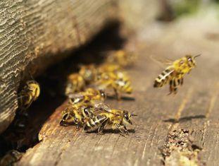 As abelhas são vitais em culturas como alfalfa, amêndoas, pepinos e morangos.