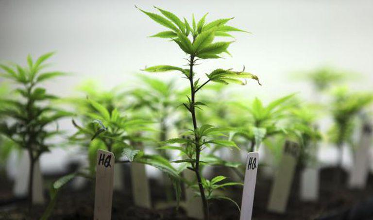 Cultivo de cannabis com fins medicinais.