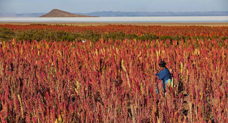 Plantação de quinoa no povoado boliviano de Jiria.