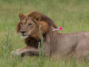 Cientistas em Botsuana detectam uma mudança física e de comportamento em várias fêmeas