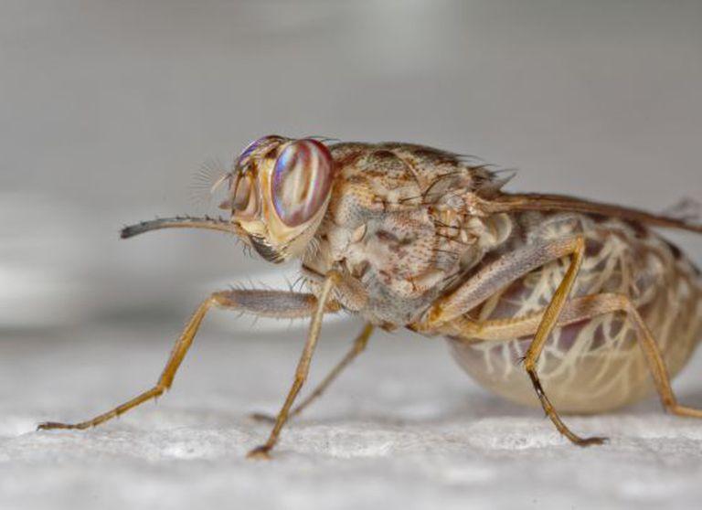 Glossina morsitans, uma das espécies da mosca tsé-tsé.