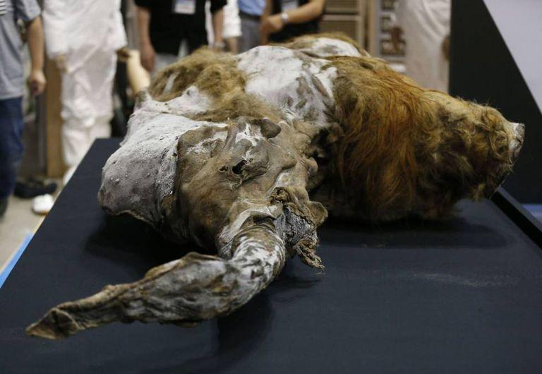 Mamute que viveu há 39.000 anos na Sibéria