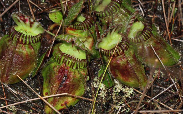 A 'Cephalotus follicularis' é uma planta carnívora que só se dá no sul da Austrália